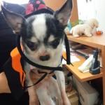 モデル犬リーちゃん仮装