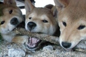 柴犬イチ様
