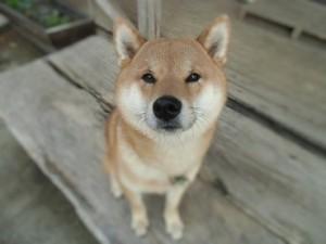 柴犬イチ様2