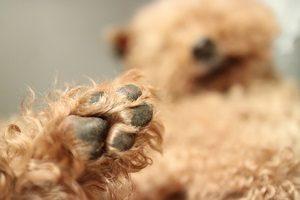 動物看護師より犬の肉球ケアについて