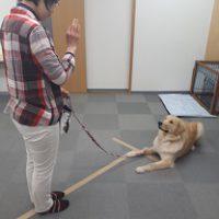 家庭犬訓練士ライセンス取得対策講座認定試験対策でフセを練習する同伴犬