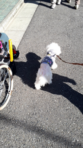動物介在活動で車いすの横を歩くセラピー犬