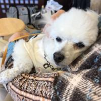 動物介在活動で抱っこされるセラピー犬