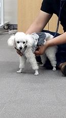 獣医師から学ぶ動物の救急救命実技セミナーのモデル犬のトイプードル