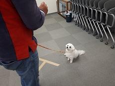 同伴犬マルチーズとマテの練習