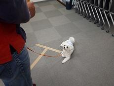 同伴犬マルチーズとフセの練習