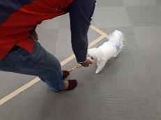 同伴犬マルチーズとオイデの練習