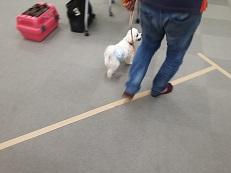 同伴犬マルチーズと脚側歩行の練習