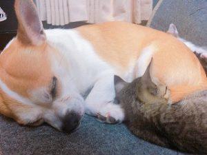寄り添って眠る小型犬と猫