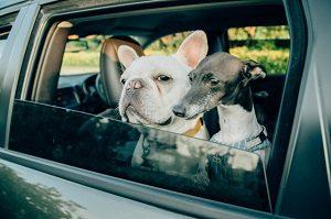 車の窓から顔を出す犬2頭