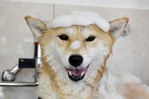 シャンプー中に頭に泡をのせている柴犬