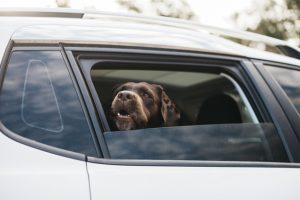 車の窓から顔を出す黒い犬