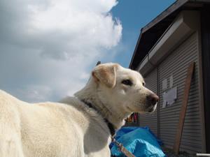 2011年4月震災後仮説で暮らす犬
